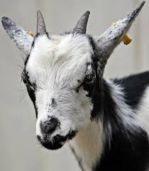 free stock photos of goat pexels