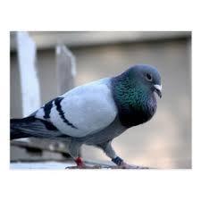 cuisine des pigeons voyageurs cartes postales pigeon voyageur personnalisées zazzle be