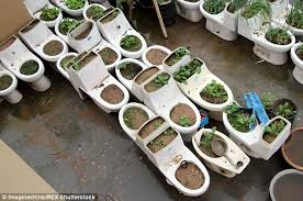 man grows vegetable garden in toilet bowls and fertilises it with