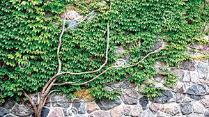 growing up the art of climbing plants u2014 saturday magazine u2014 the