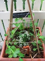 Climbing Plants On Trellis Easy Guide To Growing Perfect Peas The Micro Gardener