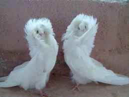 the jacobin is a breed of fancy pigeon developed many years of