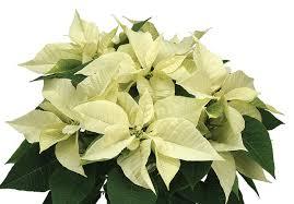 white poinsettia white a new leaf