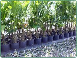 nurseries landscaping cove farms wholesale palm tree grower