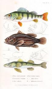 best 25 fish graphic ideas on pinterest illustration styles