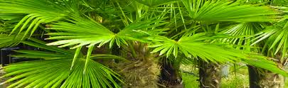 where to buy palm trees in virginia palmco florida