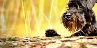 affenpinscher good bad member handouts apdt