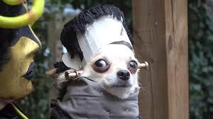Chihuahua Halloween Costumes Frightfully Fantastic Dogs Halloween Costume Meet