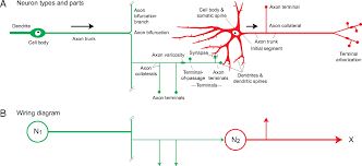 foundational model of structural connectivity in the nervous