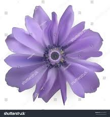 anemones flowers 100 purple anemones flowers anemone free pictures on