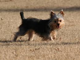 short haired chorkie chorkie breed information characteristics heath problems