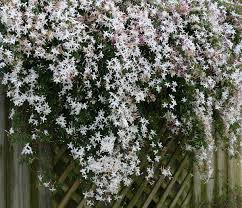 native climbing plants jasmine wikipedia