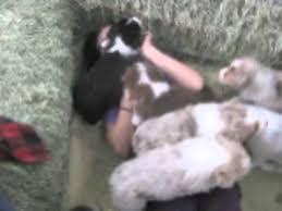 australian shepherd 6 weeks 5 week old australian shepherd puppies youtube