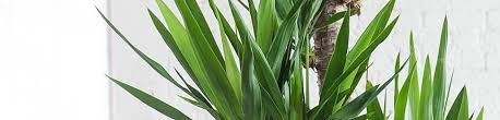 plant delivery yucca plant delivery shop for yucca plants online my city plants