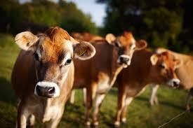 jersey cows jersey cattle the secret of jersey milk visit jersey
