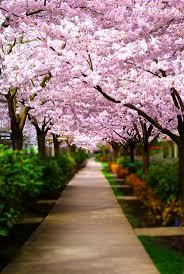 116 best cherry blossom images on pinterest spring nature