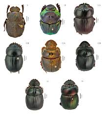 Lê Diniz Resultados Da Pesquisa Dung Beetles Of Pastures And Key To Genera