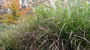 ornamental grass miscanthus self sows into a gardening