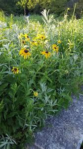 free native plants uncategorized archives avant gardening avant gardening