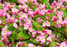 begonia flower pink wax begonia or fibrous flower field as background stock photo