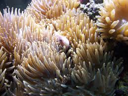 tips to get clownfish to use a host anemone marine depot blog