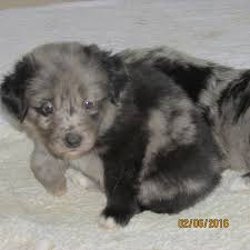 australian shepherd not eating new litter ready 5 27 16 three creek australian shepherds