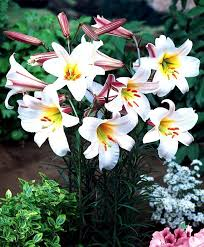 Lily Flower Garden - 433 best day lilies images on pinterest flowers plants and