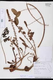 native plants fort myers guilandina bonduc species page isb atlas of florida plants
