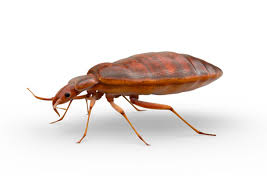 Bed Bug Bed Bugs Raid Bug Id Raid Brand Sc Johnson