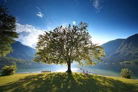 arguably the most beautiful tree in the world lake wanaka new