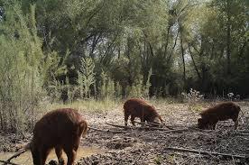 halloween city lake havasu all hogs go to heaven havasu national wildlife refuge feral swine