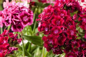sweet william flowers sweet william flower sweet william flowers sweet william flower s