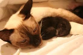 file newborn kitten sleeping jpg wikimedia commons