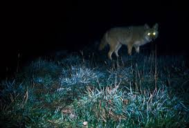 Can Coyotes See Red Light Don U0027t Eat The Meat Lessons From Hunting Coyotes At Night In N J
