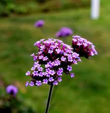 Verbena Flower Free Photo Purpletop Vervain Purple Verbenaceae Verbena Flower