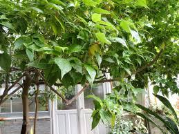 file trochetia erythroxylon copenhagen botanical garden