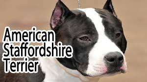 colby american pitbull terrier american staffordshire terrier breed youtube
