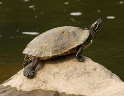 Texas Map Turtle Eastern River Cooter Mdc Discover Nature