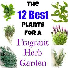 Fragrant Plants List - the top plants to grow for a fragrant herb garden bergamot