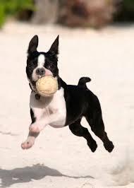 belgian malinois 101 youtube boston terrier 101 the breed standard dog gonnit