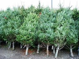 real christmas trees how to care for your real christmas tree