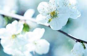 white cherry blossom awesome wallpapers 25 cherry blossom wallpaper collection