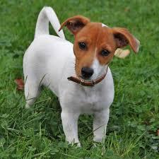 australian shepherd jack russell terrier jack russell terrier pedigree database