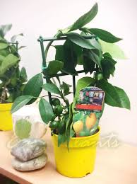 1 lemon indoor tree pot outdoor garden scent citrus fruit