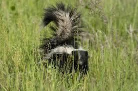 affenpinscher missouri skunk control missouri department of conservation