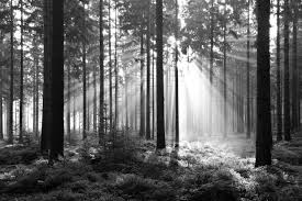 wall mural forest black and white photo wallpaper happywall forest black and white