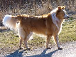 australian shepherd and border collie mix border collie aussie mix dogs are the best border collie aussie