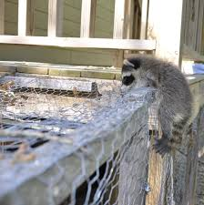 get rid of raccoons in backyard home decorating interior design