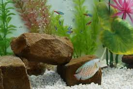 Decoration Of Fish Tank The Best Fish To Put With Neons U0026 Guppies Pets