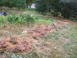 smart pine needles as mulch backyard u2014 home ideas collection how
